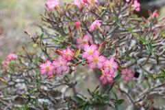 Wenig süße Wüste Rose Flower Stockfotos