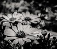 Wenig Schönheit in Schwarzweiss stockbild