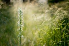 Wenig Schmetterlingorchidee Platanthera bifolia des Sonnenaufgangs an der Rückseite herein Lizenzfreies Stockfoto