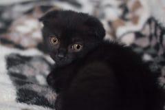 Wenig schwarze Miezekatze mit traurigen Augen kleines schwarzes schottisches Faltenk?tzchen schaut ?ber seiner Schulter, die auf  stockfotografie