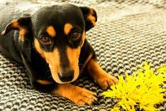 Wenig schwarzer Hund mit forzitsya gelber Blume lizenzfreies stockbild