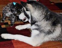 Wenig schwarzer weiblicher Morkie-Hund, der einen Anstarrenwettbewerb mit einem großen schwarzen Schlittenhund hat Stockfotos