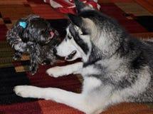 Wenig schwarzer weiblicher Morkie-Hund, der heraus sie an haftet Lizenzfreies Stockbild