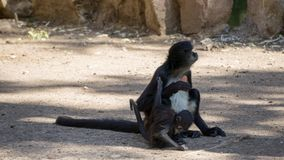 wenig schwarzes Affeessen Stockbilder