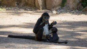 wenig schwarzes Affeessen Lizenzfreies Stockbild
