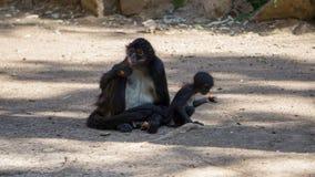 wenig schwarzes Affeessen Lizenzfreies Stockfoto