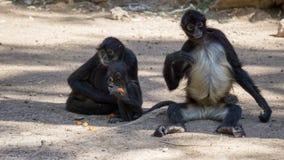 wenig schwarzes Affeessen Stockfotografie