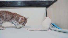 Wenig schwarzes gestreiftes Kätzchenspielen jagt einen Rattenmäuselebensstil lustiges seltenes Video wenig Miezekatze und ein Rat stock video footage