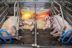 Wenig Schweine am Bauernhofschlafen stockbild