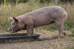 Wenig Schweine, junges Schwein, Ferkel, essend aus einer Metallabflussrinne heraus stockbild
