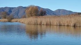 Wenig See und allgemeines Schilf Stockbilder