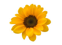 Wenig Sonnenblume auf weißem Hintergrund Stockfoto