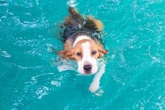 Wenig Spürhundhundeschwimmen im Pool Lizenzfreies Stockfoto