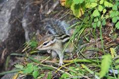 Wenig Streifenhörnchen mit schwarzen Streifen auf der Rückseite im grünen Gras Stockfotos