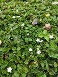 Wenig unbekannte weiße Blumen aus den Grund am Hinterhof stockfoto