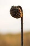 Wenig verwelkte Sonnenblume Lizenzfreie Stockfotos