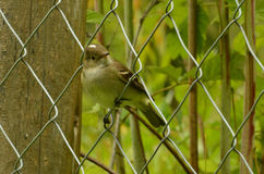 Wenig Vogelbeobachtung zur Kamera Stockbilder