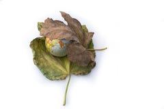 Wenig vorbildliche Kugel gesetzt zwischen zwei Herbstlaub Stockbild