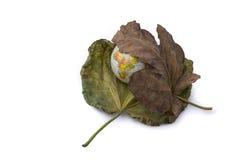 Wenig vorbildliche Kugel gesetzt zwischen zwei Herbstlaub Stockfoto