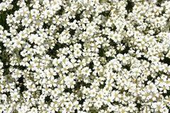 Wenig weiße Blume Stockbild
