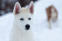 Wenig weißer Schlittenhund mit blauen Augen, Abschluss oben Stockfotografie