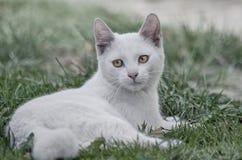 Wenig weißes Kätzchen ` Oliver-` stockfoto
