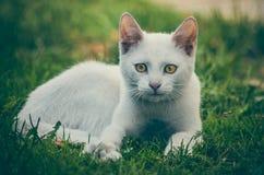 Wenig weißes Kätzchen ` Oliver-` lizenzfreies stockfoto