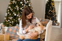Wenig Welpe Waliser-Corgi-Wolljacke liegt auf der Couch auf dem Schoss eines Mädchens stockbilder