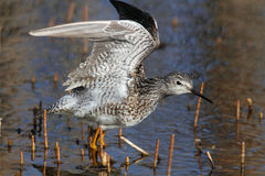Wenig Yellowlegs Stockbild