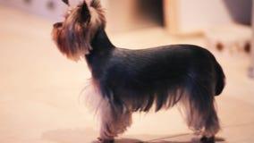 Wenig Yorkshire Terrier auf Boden des Hauses Schauen Sie in camera Hund Kleines Endstück gebunden durch Gummiband stock footage
