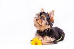 Wenig Yorkshire-Terrierwelpe Stockfotos
