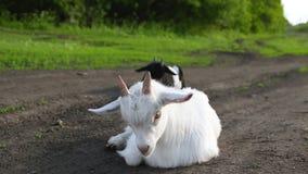 Wenig Ziegen lassen in der Wiese weiden Wei?e Ziege, welche die Kamera betrachtet stock footage