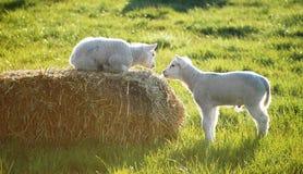 Wenig zwei Schafe Stockfoto