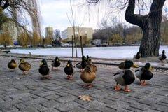 wenige Enten auf einem Gehweg in einer Stadt parken Stockbilder