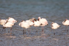 Wenige Flamingos Lizenzfreie Stockfotos