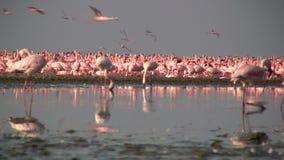 Wenige Flamingos stock video