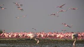 Wenige Flamingos stock footage