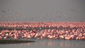 Wenige Flamingos in See nakuru stock footage