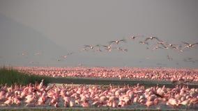 Wenige Flamingos in See nakuru stock video footage