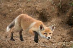 Wenige Fox-Jagden nahe seinem Loch stockfotografie