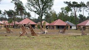 Wenige Giraffen, die im Gras stillstehen lizenzfreie stockfotos