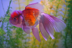 Wenige Goldfische lizenzfreies stockfoto