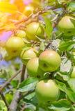 Wenige grüne Äpfel Stockbild