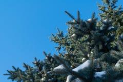 Wenige grüne Baumaste im weißen Schnee Lizenzfreie Stockbilder