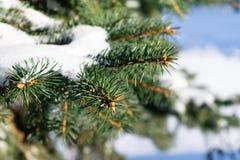 Wenige grüne Baumaste im weißen Schnee Lizenzfreie Stockfotos
