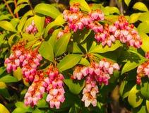 Wenige helle rosa Glockenblumen auf einem Pieris Japonica Busch lizenzfreies stockfoto