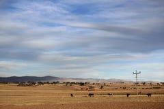 Wenige Kühe auf der Beschaffenheit von Bolivien Lizenzfreie Stockfotografie