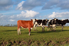 Wenige Kühe auf Weide über blauem Himmel Lizenzfreie Stockfotos
