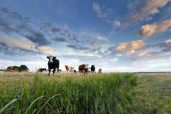 Wenige Kühe auf Weide bei Sonnenuntergang lizenzfreies stockbild