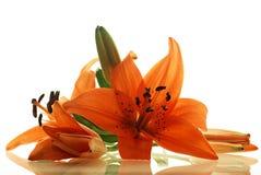 Wenige Lilien mit Reflexion Stockfotos